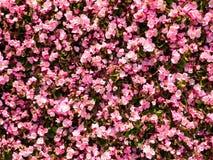 Sottragga la priorità bassa dentellare del fiore Immagini Stock