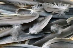 sottragga la priorit? bassa Piume grige del pappagallo immagini stock libere da diritti