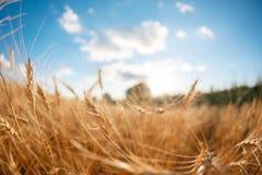 Sottragga le sfuocature Campo di frumento Orecchie della fine dorata del grano su Paesaggio rurale nell'ambito del tramonto brill Fotografia Stock Libera da Diritti