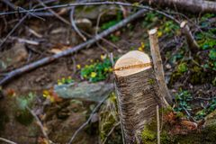Souche d'arbre dans une forêt qui a été dégagée image stock