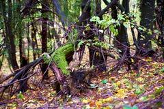 Souche de tronçon d'accroc dans la forêt Image stock
