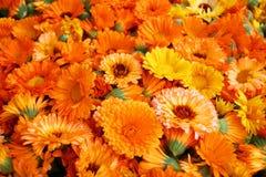 Souci de têtes de fleur (officinalis de Calendula) Image libre de droits