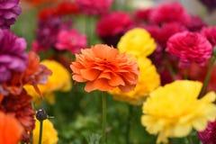 Souci en fleur Photos libres de droits