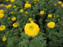 Souci fleurissant en The Field Images libres de droits