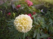 Souci français blanc frais dans le jardin photographie stock libre de droits