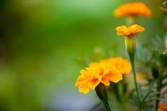 Souci jaune-orange sur un fond vert brouillé photographie stock libre de droits