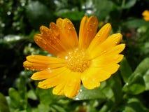 Souci orange avec des gouttelettes Images libres de droits