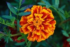Souci rouge dans un lit de fleur dans le jardin, plan rapproché photo stock