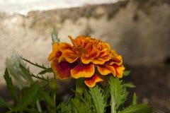 Souci rouge Tagetes Image libre de droits