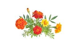 Soucis avec des bourgeons et des feuilles (nom latin : Tagetes) Photographie stock
