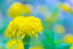Soucis brouillés et mous de doux abstrait de foyer, Tagetes, erecta de Tagetes, Asteraceae, fleur Image libre de droits