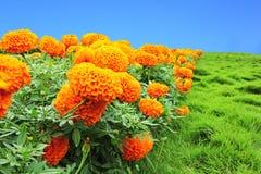 Soucis oranges Photo stock