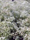 Souffle de chéris Image stock