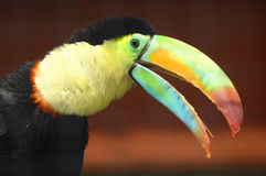 Soufre-breasted toucan photographie stock libre de droits