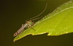 Soulève le moustique du pied Photo libre de droits
