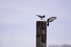 Soul mate pigeons Royalty Free Stock Images