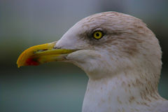 Soul-staring Seagull Royalty Free Stock Image