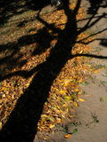 Soul of the tree. Shadow of the tree on the ground Royalty Free Stock Photo