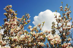 Soulangeana магнолии Цветет магнолия Стоковые Изображения