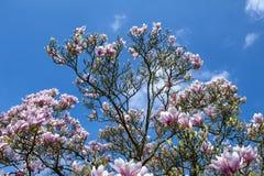 Soulangeana da magnólia x da magnólia de pires, uma planta híbrida no gênero magnólia e Magnoliaceae da família fotos de stock