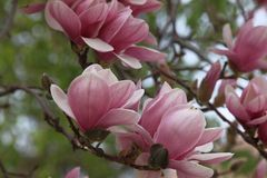 Soulangeana de Ã- de la magnolia (magnolia de platillo) Imagenes de archivo