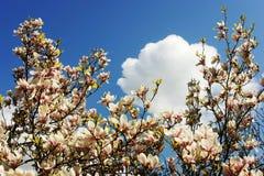 Soulangeana de la magnolia Florece la magnolia Imagenes de archivo