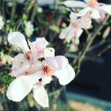 Soulangeana de magnolia Photos stock