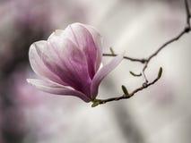 Soulangeana de magnolia, arbre de magnolia de soucoupe images stock