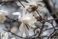 Soulangeana de magnolia, arbre de magnolia de soucoupe photographie stock libre de droits