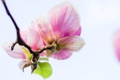 Soulangeana que florece, tiempo de la magnolia de primavera Foto de archivo libre de regalías