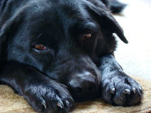 Soulful black lab Stock Images