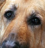 Soulful Dog Eyes. Tight shot of German Shepherd Face Stock Images