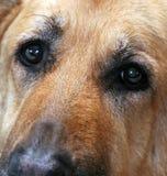 Soulful Dog Eyes. Tight shot of German Shepherd Face stock images