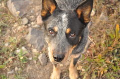Soulful Eyes. The intelligent gaze of a blue Australian Cattle Dog Stock Photography