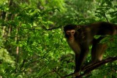 Soulful monkey. Zhangjiajie Nature Reserve ,china Stock Photography