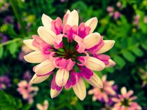 Soulful Pink. A very bright pink flower Royalty Free Stock Images