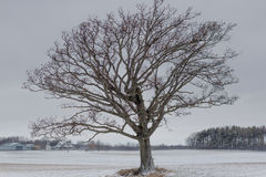 Soulful tree. I love this tree, its so interesting and soulful all year round Royalty Free Stock Images