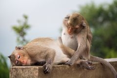 Soulmate animal d'amour de sentiment de singe Photographie stock libre de droits