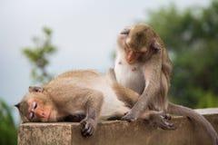 Soulmate animal d'amour de sentiment de singe Photographie stock libre de droits