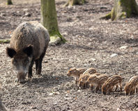 Sounder of boars Royalty Free Stock Photos