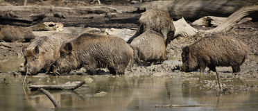 Sounder / Group of boars at watering hole Royalty Free Stock Photo