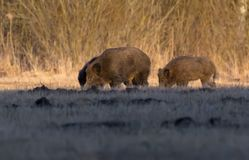 Pack of wild boars feeds in the meadows in early spring. Sounder of wild boars feeding in the field in early spring stock photography