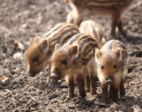 Sounder of young wild boars royalty free stock images