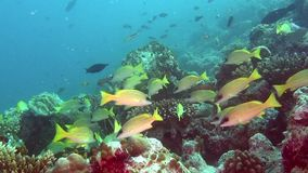 Soup of unique exotic bright yellow striped fish underwater in Maldives. stock video footage