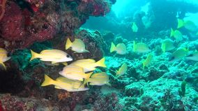 Soup of unique exotic bright yellow striped fish underwater in Maldives. stock footage