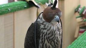 在猎鹰Souq的猎鹰 股票录像