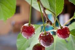 Sour cherries Royalty Free Stock Photos