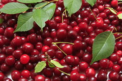 Sour cherries. Freshly picked sour cherries with some leaves Royalty Free Stock Photography