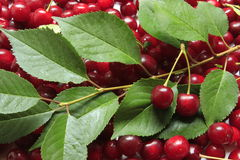 Sour cherries Stock Images