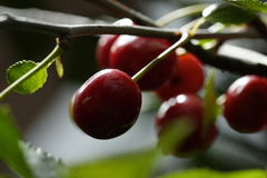 Sour cherries Royalty Free Stock Photography